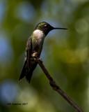 5F1A6784 Ruby-throated Hummingbird.jpg