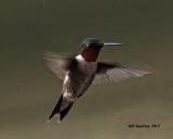 5F1A6790 Ruby-throated Hummingbird.jpg