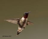 5F1A6901 Ruby-throated Hummingbird.jpg