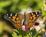 5F1A6946 American Painted Lady.jpg