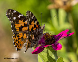 5F1A6950 American Painted Lady.jpg