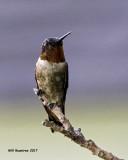 5F1A7102 Ruby-throated Hummingbird.jpg