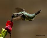 5F1A7165 Ruby-throated Hummingbird.jpg