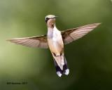 5F1A7176 Ruby-throated Hummingbird.jpg