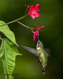 5F1A7274 Ruby-throated Hummingbird.jpg