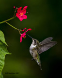 5F1A7277 Ruby-throated Hummingbird.jpg
