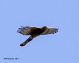 5F1A7371 Coopers Hawk.jpg