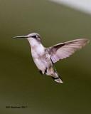 5F1A7513 Ruby-throated Hummingbird.jpg