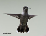 5F1A7535 Ruby-throated Hummingbird.jpg