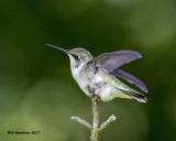 5F1A7560 Ruby-throated Hummingbird.jpg