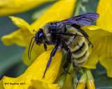 5F1A7654 Bumble Bee.jpg