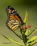 5F1A7679 Monarch.jpg