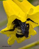 5F1A7737 Bumble Bee.jpg