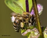 5F1A7871 European Honey Bee.jpg