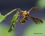 5F1A8015 Paper Wasp.jpg