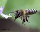 5F1A8048 European Honey Bee.jpg
