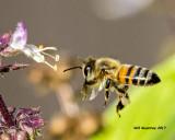 5F1A8177 European Honey Bee.jpg
