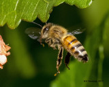 5F1A8279 Honey Bee.jpg