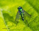 5F1A8303 Long-legged Fly.jpg