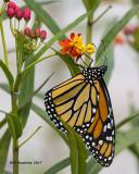 5F1A8348 Monarch.jpg