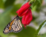 5F1A8371 Monarch.jpg