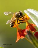 5F1A8380 Honey Bee.jpg