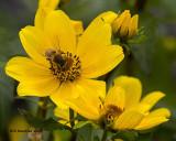 5F1A8426 Honey Bee.jpg