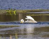 5F1A8538 Great Egret.jpg