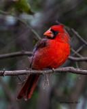 5F1A8424 Cardinal.jpg