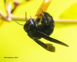 5F1A8597 Southern Carpenter Bee.jpg