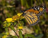 5F1A8676 Monarch.jpg