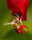 5F1A8818 Honey Bee.jpg