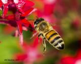 5F1A8842 Honey Bee.jpg