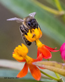 5F1A8921 Honey Bee.jpg
