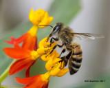 5F1A8935 Honey Bee.jpg