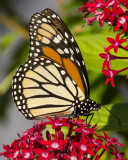 5F1A8947 Monarch.jpg
