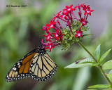 5F1A8957 Monarch.jpg