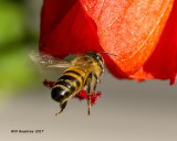 5F1A8964 Honey Bee.jpg