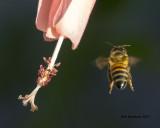 5F1A8994 Honey Bee.jpg
