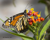 5F1A9084 Monarch.jpg