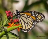 5F1A9159 Monarch.jpg