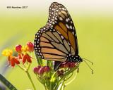 5F1A9195 Monarch.jpg