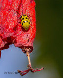 5F1A9204 Lady beetle.jpg