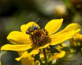 5F1A9412 Bee fly.jpg