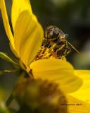 5F1A9431 Bee fly.jpg