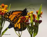 5F1A9582 Monarch.jpg