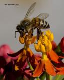 5F1A9595 Honey Bee.jpg