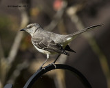 5F1A9708 Northern Mockingbird.jpg