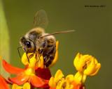 5F1A9713 Honey Bee.jpg