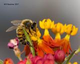 5F1A9794 Honey bee.jpg